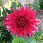 Semi Cactus Red