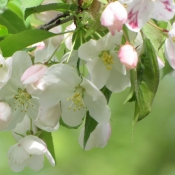Apple blossoms on branches