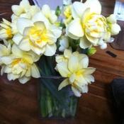 Manly daffodill