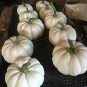mini white pumkins