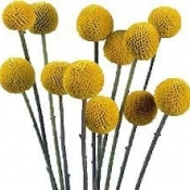 Craspedia : Billy Buttons