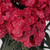 Dianthus Barbatus Sweet Coral