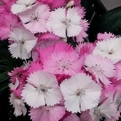 Dianthus Sweet Pink Magic