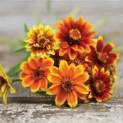 Persian-Carpet-Zinnia
