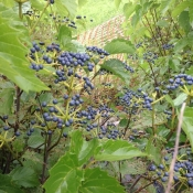 blueberry muffin virburnum