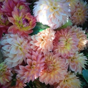 dahlias pinks