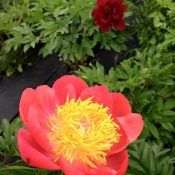 coral & gold peony
