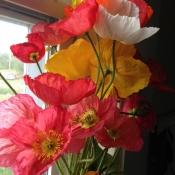 icelandic poppy 2