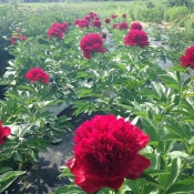 red charm peonies