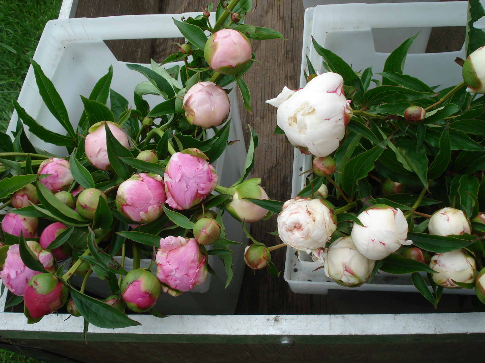 Peonies Season for the love of… peonies