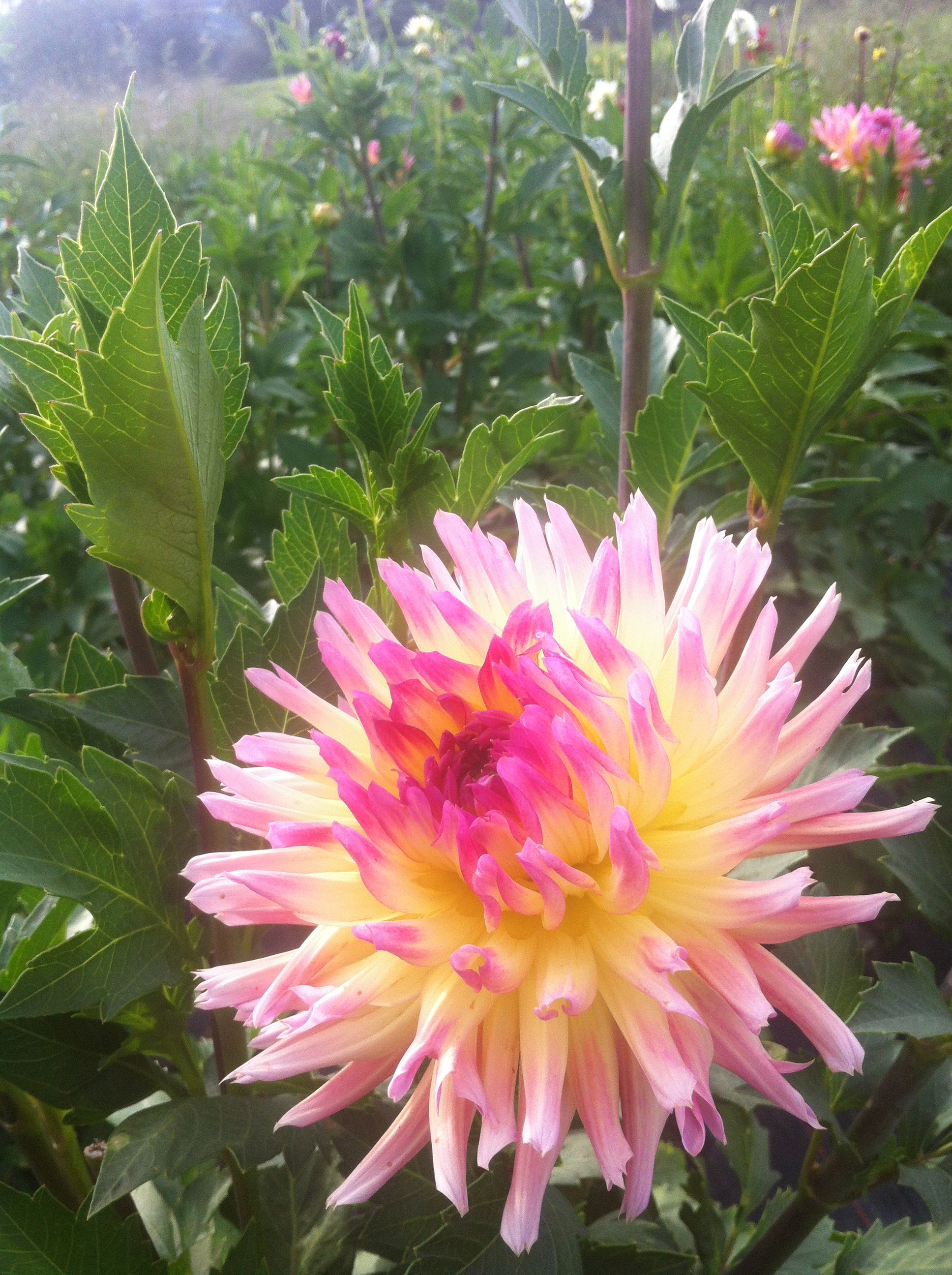 Dahlia Tubers For Sale From The Painted Tulip