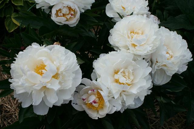 gardena peonie