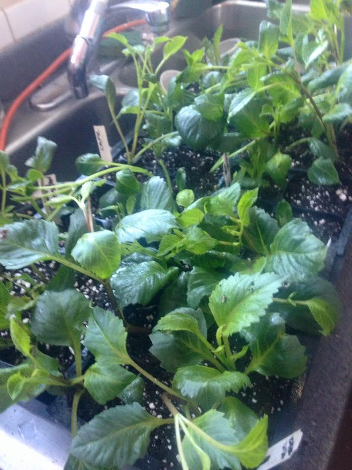 dahlia cutting feb 3