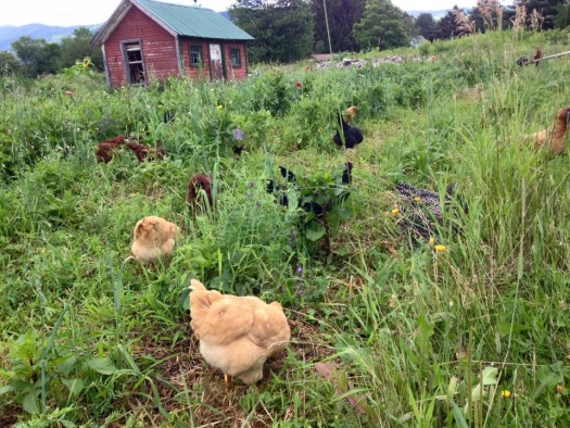 working chooks