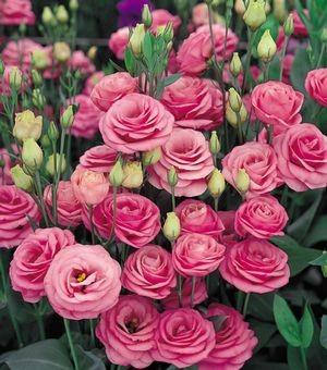 rosita-pink
